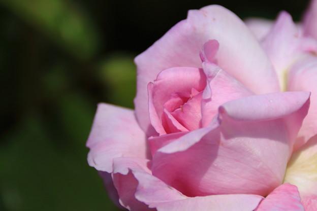 写真: 薔薇(夢香)