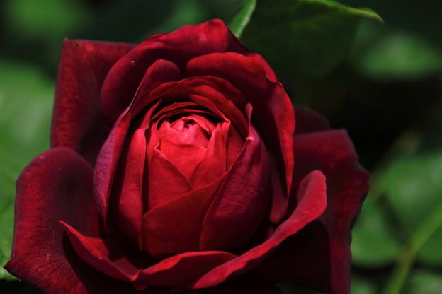 写真: 深紅の薔薇(ルージュロワイヤル)
