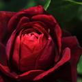 Photos: 深紅の薔薇(ルージュロワイヤル)