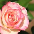 薔薇(ほのか)