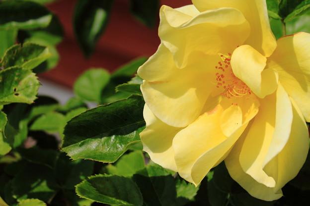 薔薇(スマイリーフェイス)