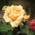 薔薇(ミシェルフーガン)