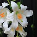 写真: ゆりの花