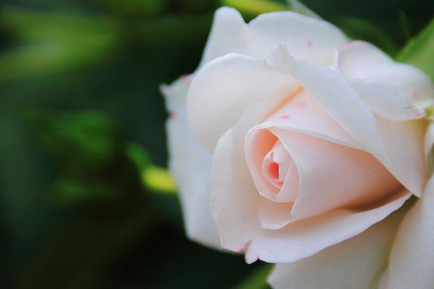 薔薇(アスピリンローズ)