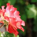 薔薇(ジュビレドウプリンスドウモナコ)