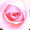 薔薇(ホームアンドガーデン)