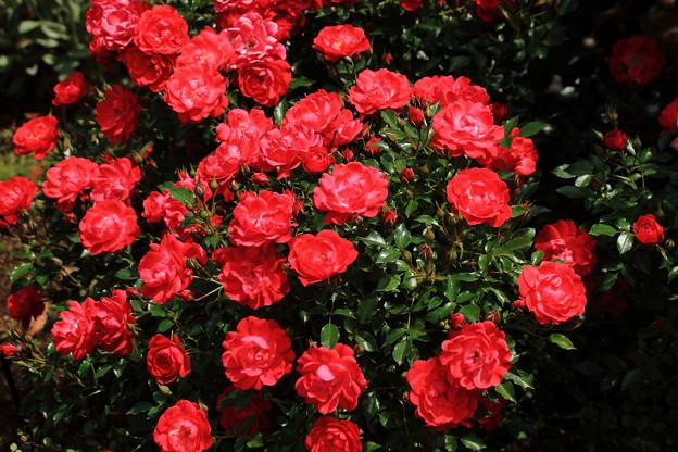 薔薇(ラズベリーロイヤル)
