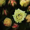 写真: 薔薇(グリーンダイアモンド)