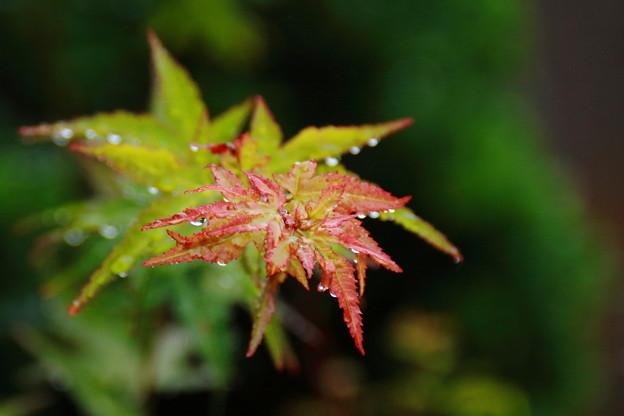 雨に打たれる楓