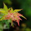 写真: 雨に打たれる楓