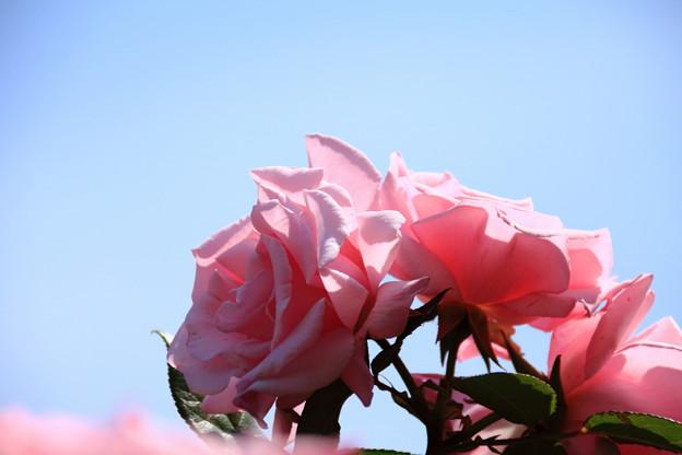 青空に薔薇の輝き