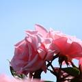 写真: 青空に薔薇の輝き