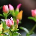 写真: 朝方の花スベリヒユ 1