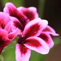 写真: 赤紫色