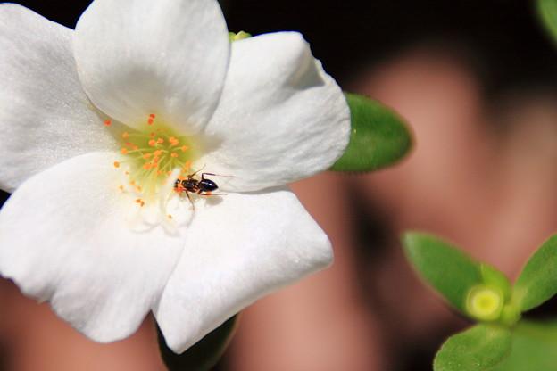 写真: 蟻とハナスベリヒユ1