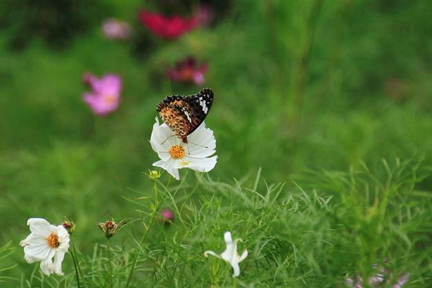 コスモスと蝶々