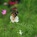 写真: コスモスと蝶々