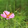 Photos: コスモスと蝶々