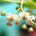 写真: 風船唐綿の花