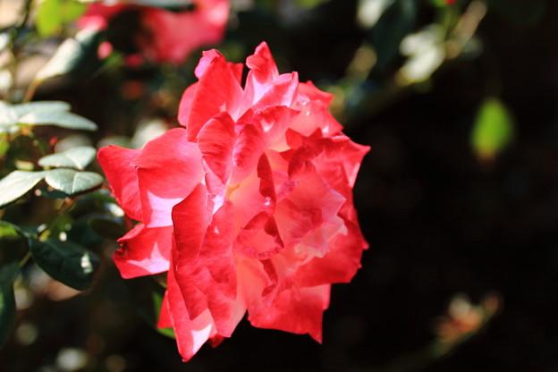 薔薇(聖火)
