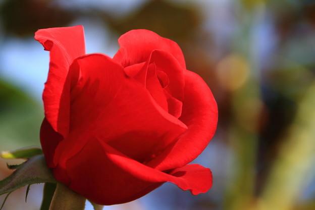 薔薇(カーディナル)
