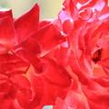 薔薇(ミラマーレ)