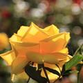 薔薇(シャイニングアワー)