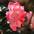 薔薇(デスティニィ)