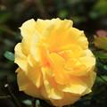 薔薇(フリージア)