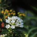 写真: 白いランタナ