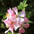 薔薇(ななこばら)