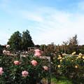 青空と秋の薔薇