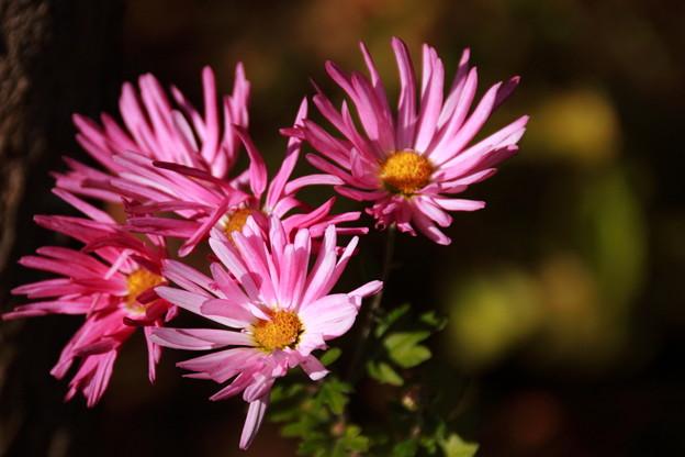 道端の花壇で ピンク