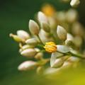 Photos: 南天の花