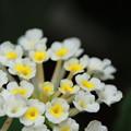 Photos: 白いランタナ