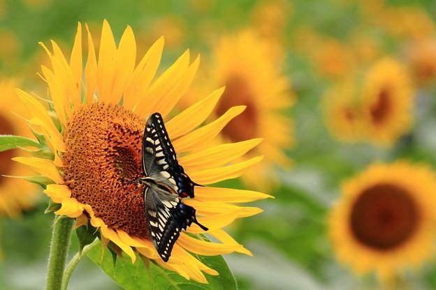 蝶のブローチ