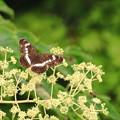 Photos: 蝶と蜂のコラボ