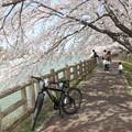 石垣池の桜並木。