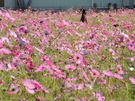 尾平町のコスモス畑。