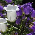 Photos: 白と紫色もありました。