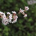 写真: 櫻花