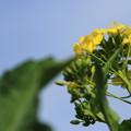 Photos: 菜花の君