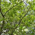 新緑のプラタナス