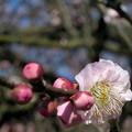 写真: 名残の梅