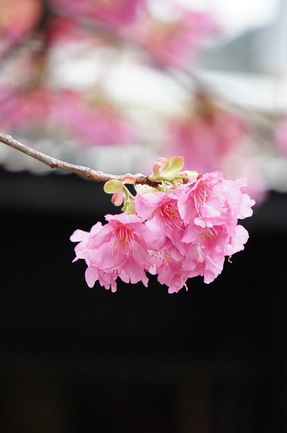 河津桜180307-02