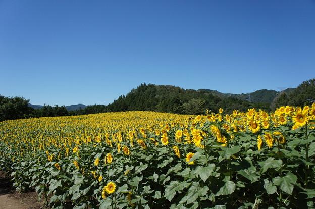 向日葵畑180817-01