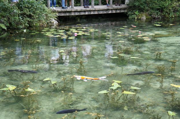 モネの池180818-01