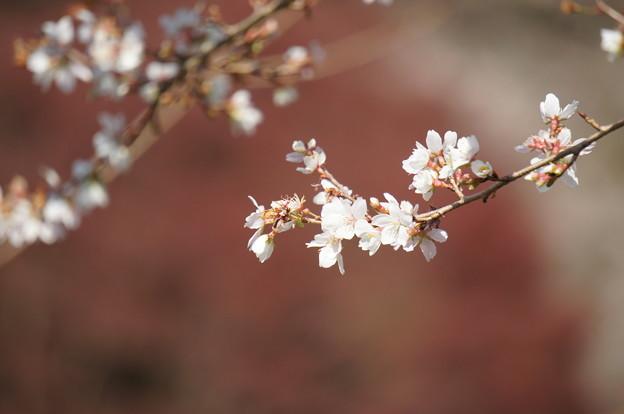 小原の四季桜181125-03