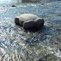 Photos: 鴨川のお亀さん。