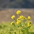菜の花 1